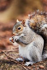 D04_3594 (drkotaku) Tags: centralpark centralparknorth manhattan newyorkcity nikon nikond4 parkphotography photography nikonafsnikkor200500mmf56eedvr squirrel