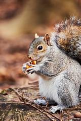 D04_3596 (drkotaku) Tags: centralpark centralparknorth manhattan newyorkcity nikon nikond4 parkphotography photography nikonafsnikkor200500mmf56eedvr squirrel