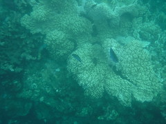 Fish among the Corals (Rckr88) Tags: from sea pointeauxbiches mauritius pointe aux biches seas water ocean coastline coastal coast coral coralreef corals reefs reef underwater fish snorkelling snorkel marine marinelife among fishamongthecorals
