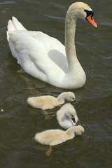 Mute Swans (klauslang99) Tags: klauslang animals nature swans mute lake ontario