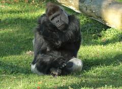 western lowlandgorilla Bauwi Burgerszoo BB2A1065 (j.a.kok) Tags: animal africa afrika aap ape mammal monkey mensaap zoogdier dier primate primaat gorilla westelijkelaaglandgorilla westernlowlandgorilla lowlandgorilla laaglandgorilla burgerszoo zilverrug silverback bauwi