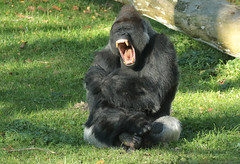 western lowlandgorilla Bauwi Burgerszoo BB2A1073 (j.a.kok) Tags: animal africa afrika aap ape mammal monkey mensaap zoogdier dier primate primaat gorilla westelijkelaaglandgorilla westernlowlandgorilla lowlandgorilla laaglandgorilla burgerszoo zilverrug silverback bauwi