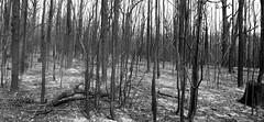 Burnt (OzzRod) Tags: pentax k1 zenitarm50mmf17 зенитарм bushfire fireground stitch panorama blackandwhite monochrome conjola nswsouthcoast