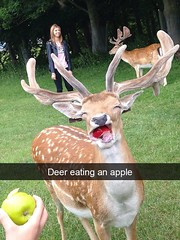 Deer eating an apple (gagbee18) Tags: animals apple deer fruits