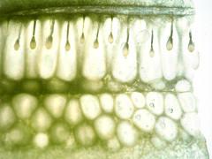 P2160478_filtered (skloi) Tags: gemüse vegetable salat grün green durchlicht backlit white macromondays
