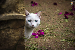 Blue-eyed boy (Shikher Singh) Tags: cat sneaky furtive wall behindthewall flowers blueeyes kitten ears whiskers shikhersimagery