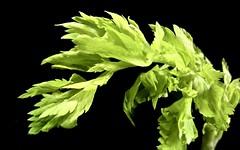 limp leafy lettuce stalk (muffett68 ☺ heidi ☺) Tags: macromondays vegetable celery green possibility