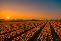 The sun is a big fan of orange tulips. (Alex-de-Haas) Tags: dji dutch europa europe fc6310 holland nederland nederlands netherlands noordholland p4p phantom phantom4 phantom4pro aerial aerialphotography agriculture akkerbouw beautiful beauty bloemen bloemenvelden boerenland bollenvelden bulbfields farmland farming flowerfields flowers landbouw landscape landscapephotography landschaft landschap landschapsfotografie lente lucht luchtfotografie mooi polder pracht quadcopter schoonheid skies sky spring sundown sunset tulip tulips tulp tulpen zonsondergang warmenhuizen northholland
