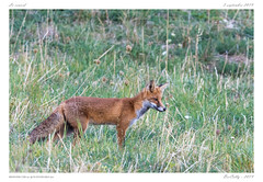Goupil | Fox (BerColly) Tags: france google flickr bercolly animal mammal auvergne mammifère puydedôme portrait fox renard