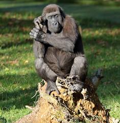 western lowlandgorilla  Burgerszoo BB2A1094 (j.a.kok) Tags: animal africa afrika aap ape mammal monkey mensaap zoogdier dier primate primaat gorilla westelijkelaaglandgorilla westernlowlandgorilla lowlandgorilla laaglandgorilla burgerszoo