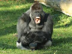 western lowlandgorilla Bauwi Burgerszoo BB2A1031 (j.a.kok) Tags: animal africa afrika aap ape mammal monkey mensaap zoogdier dier primate primaat gorilla westelijkelaaglandgorilla westernlowlandgorilla lowlandgorilla laaglandgorilla burgerszoo zilverrug silverback bauwi