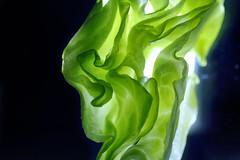 ...mom was right... (@VanveenJF) Tags: macromondays vegetables lettuce shapes naturesart tasty healthy vivitar bokina macro series1 plant food organic macromonday hmm green