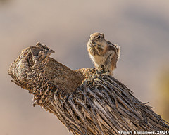 Patience Pays Off (Srihari Yamanoor) Tags: no people mammal squirrel family animal rodent wildlife animals in the wild outdoors day nature themes closeup ground cute srihari yamanoor rodentia whitetailed antelope california joshua tree national park ammospermophilus leucurus