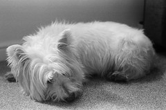 Louis // Sleeping (kjieiylv94) Tags: olympus om1 ilford hp5plus film blackandwhite dog westhighlandterrier