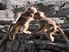 Baboons At Play (petersonao) Tags: sandiegozoo sonyrx10m4 hamadryasbaboons