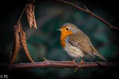 Roodborstje/Robin (truus1949) Tags: winter natuur vogels takken roodborstje