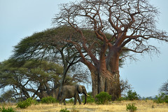 Elephants and baobabs (supersky77) Tags: tanzania tarangire national park africa baobab