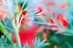 (eluelas...) Tags: soft bokeh macro blüte flower garden red rot herbst autumn plant outdoor photography nature