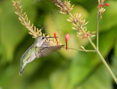 Ruby-throated Hummingbird (ruthpphoto) Tags: bird hummingbird