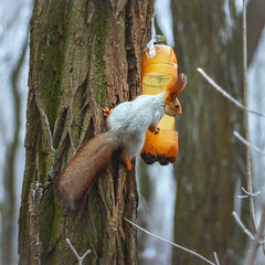 Когда все запасы орешков растащили вороны… (Nata_Smilyk ッ) Tags: canon50 beautiful красивый moment момент winter зима зимний red рыжая squirrel белка