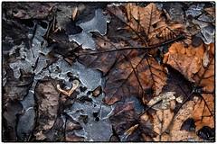 Winter Maple (RKop) Tags: raphaelkopanphotography nikon d500 nikkor1855 californiawoodspark