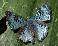 Lasaia agesilas (hippobosca) Tags: insect lepidoptera butterfly ecuador macro riodinidae metalmark lasaiaagesilas