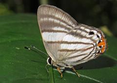 Euselasia fervida (hippobosca) Tags: insect lepidoptera butterfly ecuador macro riodinidae metalmark euselasiafervida
