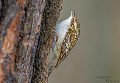 JWL6534  Treecreeper.. (Jeff Lack Wildlife&Nature) Tags: treecreeper treecreepers trees avian animal animals birds bird birdphotography countryside copse wildlife wildbirds wetlands woodlands woodland wildlifephotography jefflackphotography gardenbirds glades hedgerows farmland forest forests forestry nikon naturephotography nature ornithology