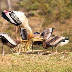 PaintedStork KNP@Rajasthan@India February2020 #paintedstork #stork #birdphotography #birding #birdphotography #nature (drpunyabratabarma) Tags: nature birding paintedstork stork birdphotography