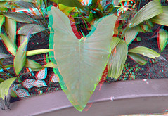 Tropenkas Victoriaserre Blijdorp Zoo Rotterdam 3D (wim hoppenbrouwers) Tags: tropenkas victoriaserre blijdorp zoo rotterdam 3d anaglyph stereo redcyan leaf blad plant