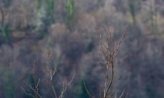 Bruant fou (jeanjoachim31bis) Tags: bruantfou emberizacia rockbunting passeriformes emberizidae oiseau bird vogel aves uccello fågel fugl pássaro バード lintu птица ptak pentaxk5iis smcpentaxda300mmf4edifsdm zippammer