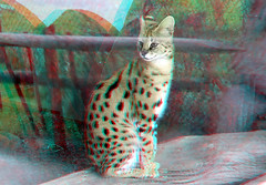 Serval Blijdorp Zoo 3D (wim hoppenbrouwers) Tags: serval blijdorp zoo 3d anaglyph stereo redcyan