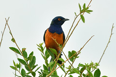 Hildebrandt's starling (supersky77) Tags: tanzania tarangire national park africa