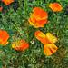 California Poppy 04