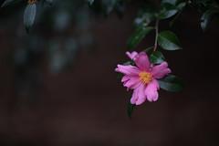 Camellia sasanqua (Jim Mayes) Tags: canon eos digital 85mm ef ef85mmf12lusm 大阪市立長居植物園