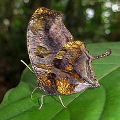 Consul fabius (hippobosca) Tags: insect lepidoptera butterfly ecuador macro nymphalidae consulfabius