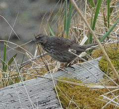 Song Sparrow (Melospiza melodia) -1078 (Dave Krueper) Tags: adak alaska aves bird birds landbird passerellidae passeriformes passerine sosp sparrow