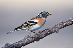 Peppola _002 (Rolando CRINITI) Tags: peppola uccelli uccello birds ornitologia avifauna racconigi natura