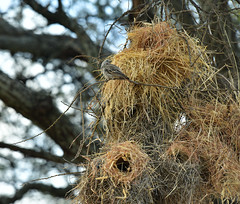 Rufous-tailed weaver and his nests (supersky77) Tags: tanzania tarangire national park africa