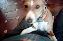 051297 11 (ndpa / s. lundeen, archivist) Tags: dewolf nickdewolf photographbynickdewolf color film 1997 1990s may spring aspen colorado dewolfhome animal pet dog basenji kitchen floor tile nicksknee collar westend blurry outoffocus electroniccollar
