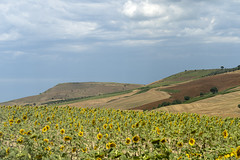 Rural landscape near Serracapriola, Apulia, Italy (clodio61) Tags: apulia europe foggia italy puglia serracapriola southern agriculture color country day field green hill land landscape meadow nature olive outdoor photography plant rural scenic summer sunflower sunny tree