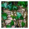 Ivy (1 of 1)-2