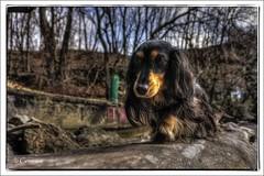 Dogwood (* Gemini-6 * (on&off)) Tags: trees riverfront hudsonriver dog pet animal mammal dachshund hdr wideangle lowangle framed diagonal