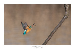 Martin pêcheur (Mig 74) Tags: coraciiformes lesgrangettes oiseaux alcédinidés martinpêcheurdeurope alcedoatthis alcédinidae aves birds commonkingfisher