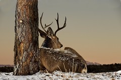 Pondering The Day (Chamblin1) Tags: deer muledeer sunrise snow winter wildlife landscape colorado