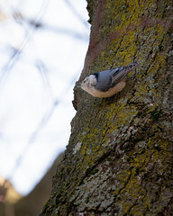 """Nuthatch Sitting in My Tree and """"Laughing"""" at Me (John Brighenti) Tags: bird feather tree sky bark moss winter february avian nuthatch birdie rockville maryland md twinbrook outside outdoors backyard birding songbird passerine beak singing nature animals animal sony alpha a7rii ilce7rm2 sel100400gm gm gmaster lens telephoto zoom photography"""