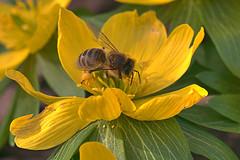 Winterling (jörgpreusser) Tags: blume blumen blüte blüten biene yellow makro macro
