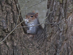 IMG_1260 (belight7) Tags: eating tree grey squirrel uk england local park
