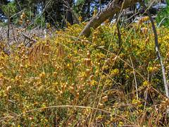 Trail To Black Hill 03 (davidseibold) Tags: america california morrobaystatepark rattlesnakegrass sanluisobispocounty usa unitedstates jfflickr photosbydavid plant postedonflickr