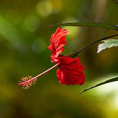 Red Flower (Kitoon) Tags: flower puertorico rainforest vacation